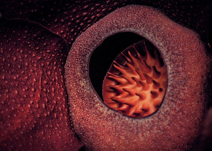 Rafflesia Greeting Card featuring the photograph Gentle Giant by Felipe Queriquelli