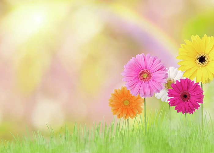 Grass Greeting Card featuring the photograph Gerbera Daisies In A Field With Rainbow by Liliboas
