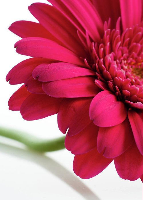 Flowerbed Greeting Card featuring the photograph Gerbera Daisy by Subman