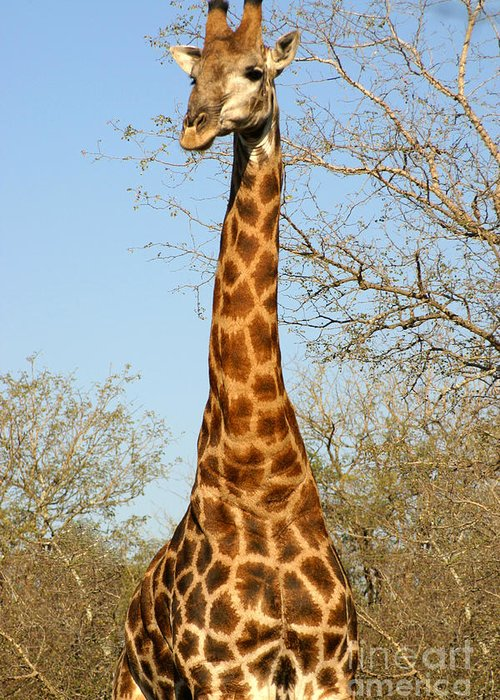 Big Greeting Card featuring the photograph Giraffe Standing In The Trees Kruger by Paul Banton