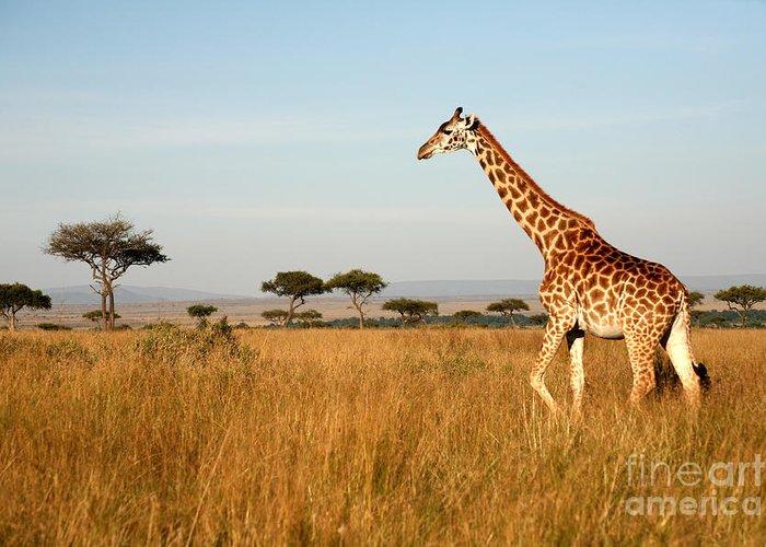 Big Greeting Card featuring the photograph Giraffe Walking Through The Grasslands by Paul Banton