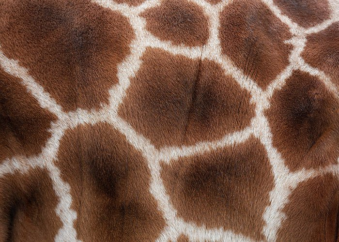 Animal Skin Greeting Card featuring the photograph Giraffes Skin Texture by Andrew Dernie