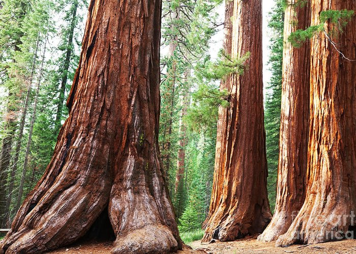 Big Greeting Card featuring the photograph Girl On Giant Stump In Sequoia National by Galyna Andrushko