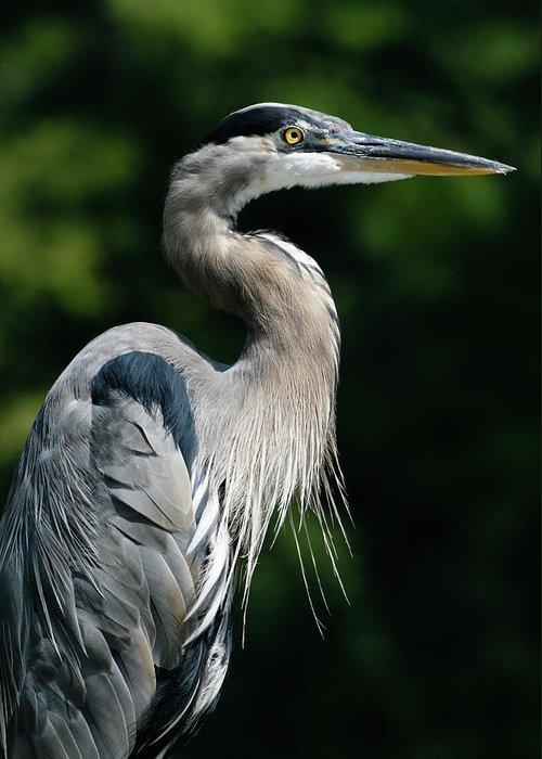 North Carolina Greeting Card featuring the photograph Great Blue Heron by Bill Swindaman