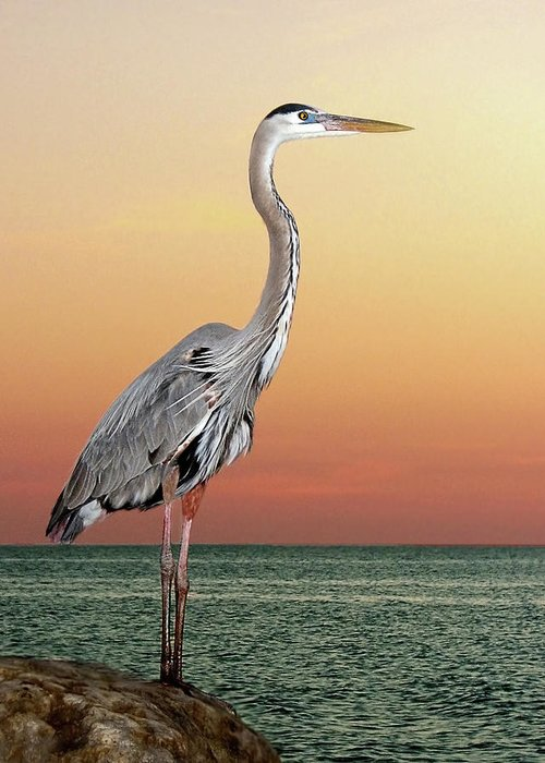 Scenics Greeting Card featuring the photograph Great Blue Heron In Seaside Sunset by Melinda Moore