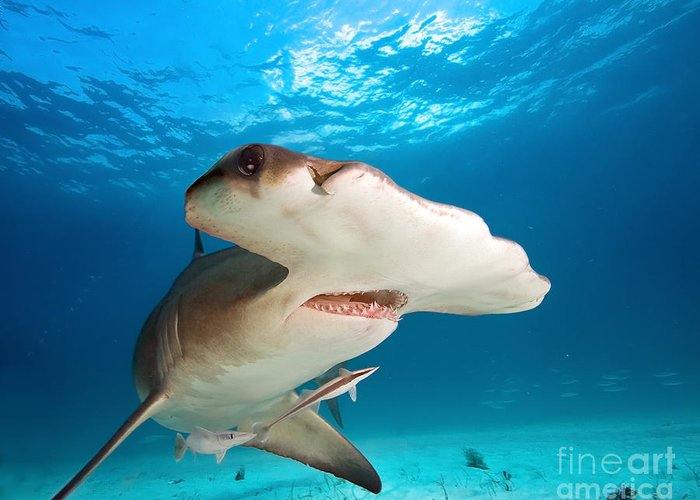 Big Greeting Card featuring the photograph Great Hammerhead by Frantisekhojdysz