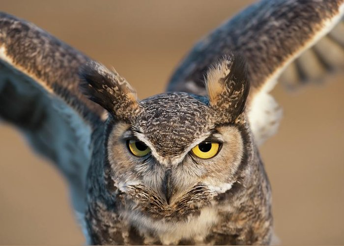 Bird Of Prey Greeting Card featuring the photograph Great-horned Owl Bubo Virginianus by Design Pics / David Ponton