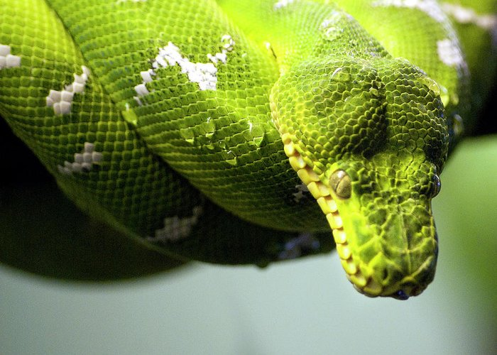 Toronto Greeting Card featuring the photograph Green Snake Curled And Resting by Gail Shotlander