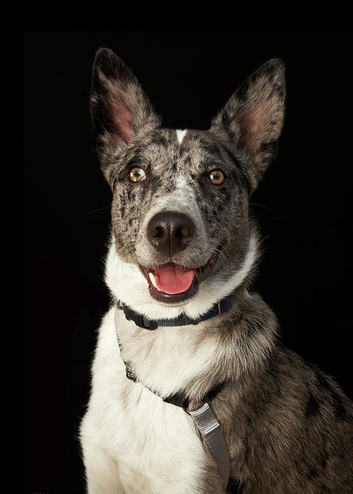Pets Greeting Card featuring the photograph Grey And White Australian Shepherd With by M Photo