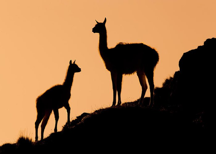 Sebastian Kennerknecht Greeting Card featuring the photograph Guanaco Mother And Cria At Sunset by Sebastian Kennerknecht