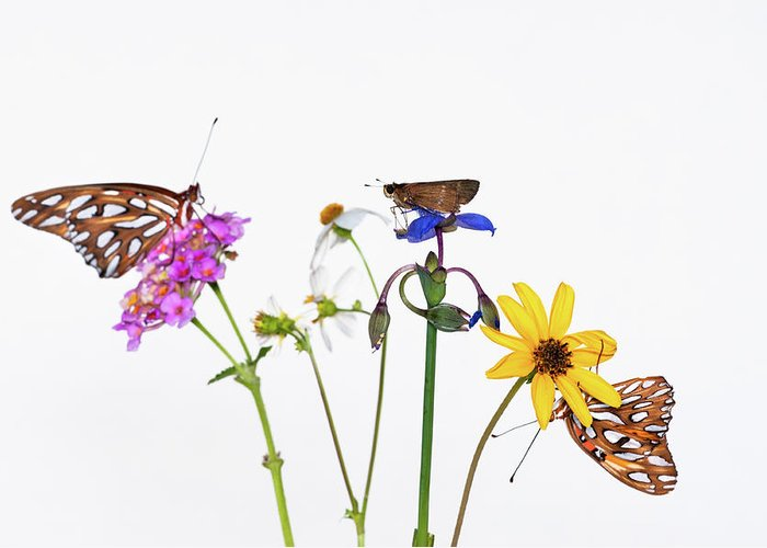 White Background Greeting Card featuring the photograph Gulf Fritillary And Brown Skipper by Jim Mckinley