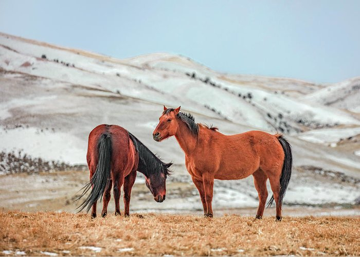 Horses Greeting Card featuring the photograph Hairy Horses by Todd Klassy
