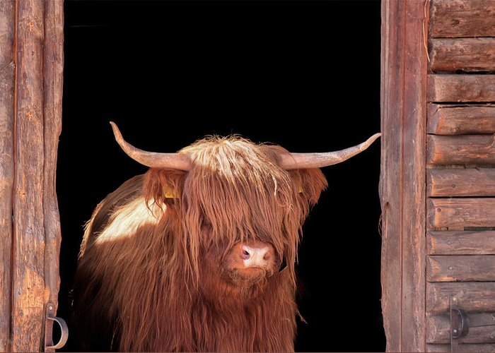 Horned Greeting Card featuring the photograph Highland Cattle In Barn Door by Kerrick