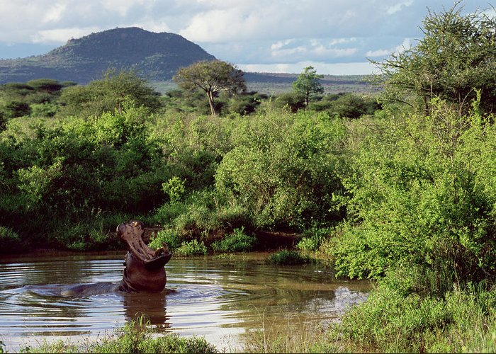 Scenics Greeting Card featuring the photograph Hippopotamus Emerging From Water, Mouth by James Warwick