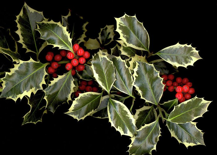 Greeting Card featuring the photograph Holly by Sandi F Hutchins