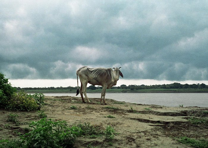 Animal Themes Greeting Card featuring the photograph Holy Cow By Ganges River by Boaz Rottem