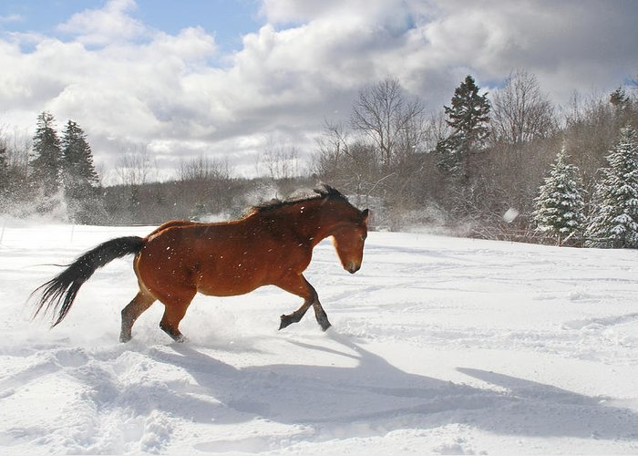 Horse Greeting Card featuring the photograph Horse Galloping In Deep Snow With Sun by Anne Louise Macdonald Of Hug A Horse Farm
