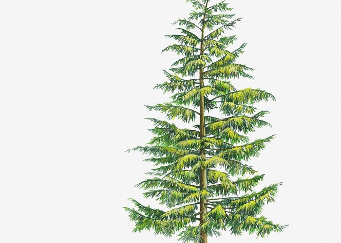 Watercolor Painting Greeting Card featuring the digital art Illustration Of Large Evergreen Tsuga by Sue Oldfield