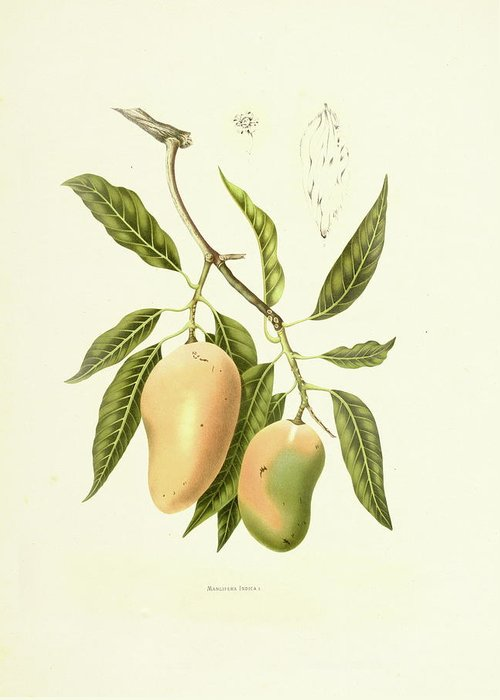 Artist Greeting Card featuring the digital art Indian Mango | Antique Plant by Nicoolay