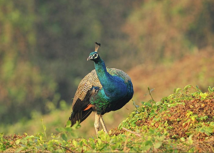 Dawn Greeting Card featuring the photograph Indian Peafowl by Nishant Shah