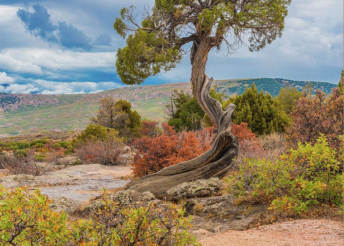 Colorado Pictures Greeting Card featuring the photograph Juniper At Dragon Point by Tom Potter