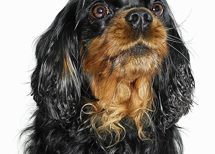 Pets Greeting Card featuring the photograph King Charles Cavalier Portrait by Gandee Vasan