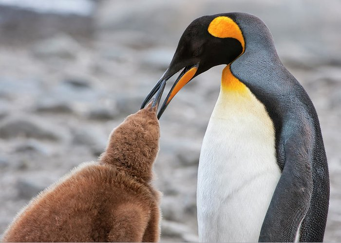 Care Greeting Card featuring the photograph King Penguin Feeding A Chick by Gabrielle Therin-weise