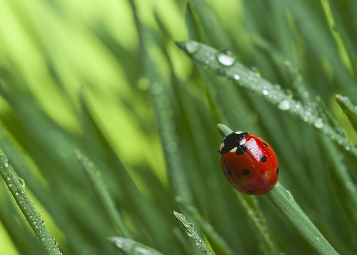 Ladybug On Leaf Greeting Card featuring the photograph Ladybird On Grass by Didecs