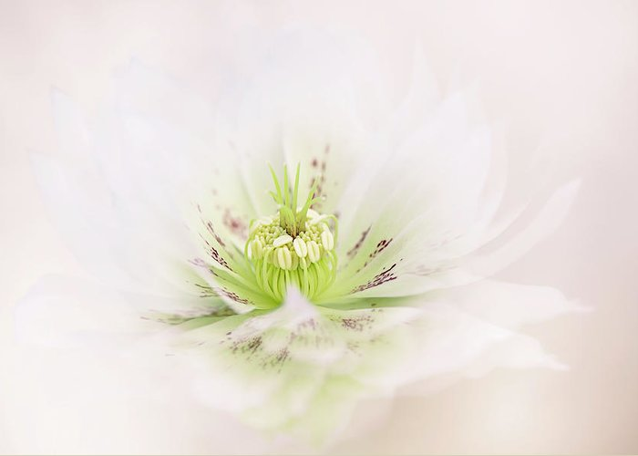 Hellebore Greeting Card featuring the photograph Lenten Rose by Jacky Parker