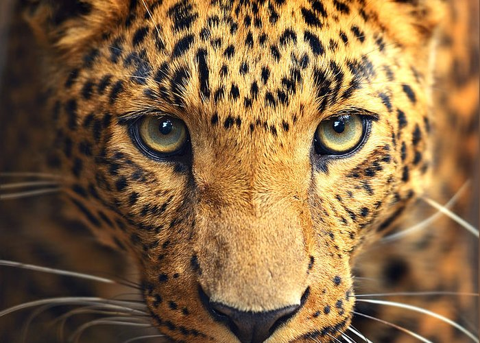 Big Greeting Card featuring the photograph Leopard Portrait by Kyslynskahal