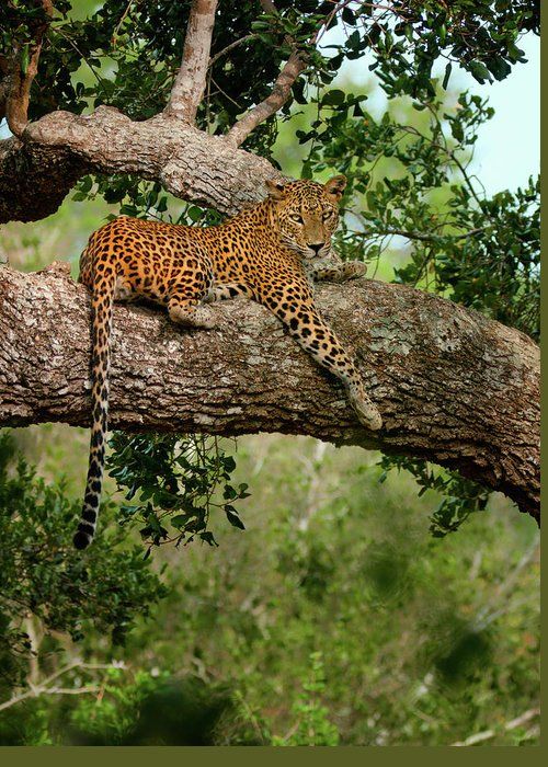 Animal Themes Greeting Card featuring the photograph Leopard Sitting On A Branch by Thilanka Perera