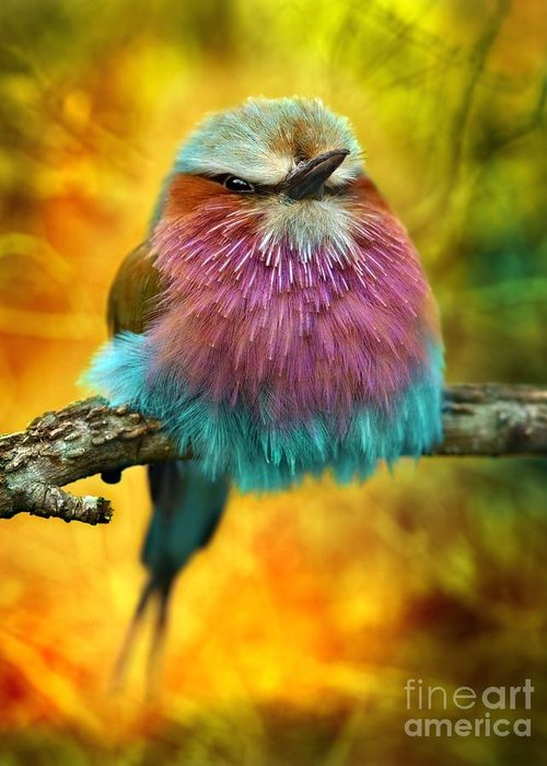 Feather Greeting Card featuring the photograph Lilac Breasted Roller Bird With Funky by Tomatito