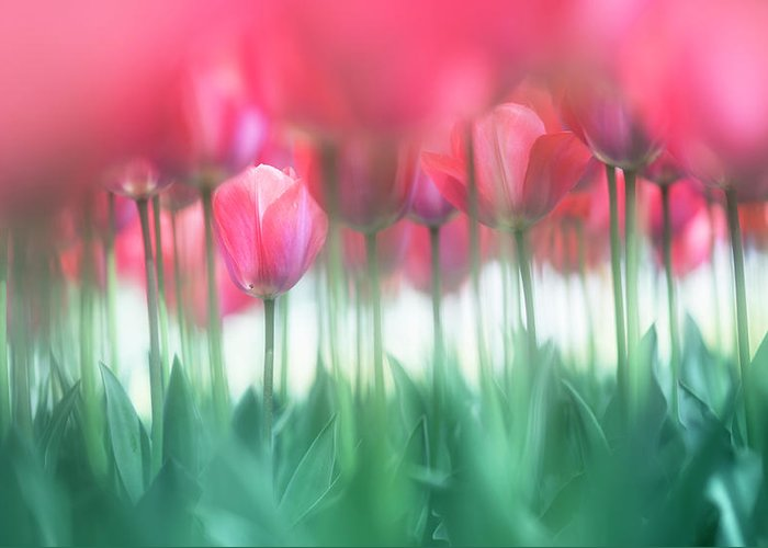 Tulip Greeting Card featuring the photograph Lined Tulips by Takashi Suzuki