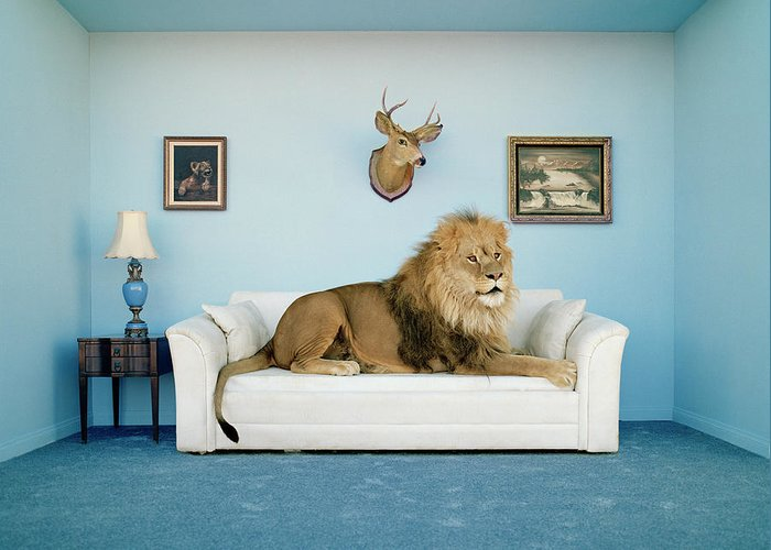 Pets Greeting Card featuring the photograph Lion Lying On Couch, Side View by Matthias Clamer