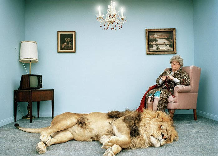 Pets Greeting Card featuring the photograph Lion Lying On Rug, Mature Woman Knitting by Matthias Clamer