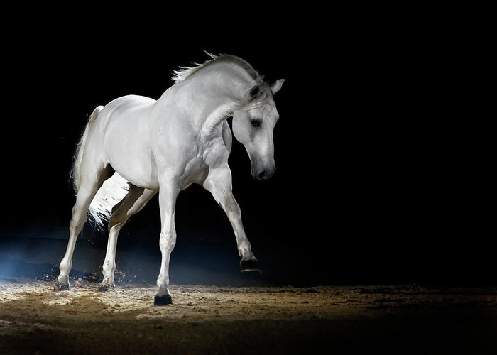 Horse Greeting Card featuring the photograph Lipizzaner Horse Playing by Somogyvari