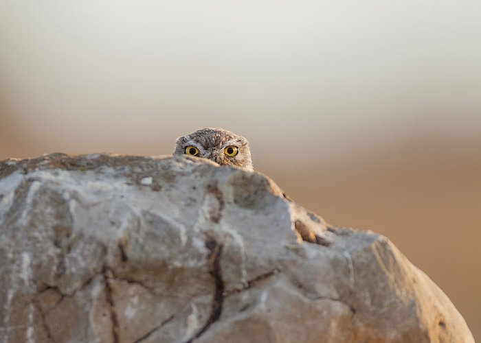 Eyes Greeting Card featuring the photograph Little Owl by Valerio Ferraro