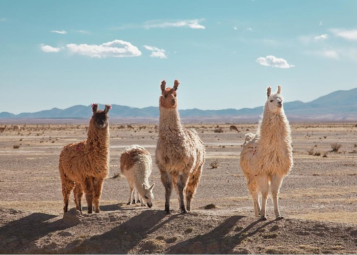 Shadow Greeting Card featuring the photograph Llamas Posing In High Desert by Kathrin Ziegler