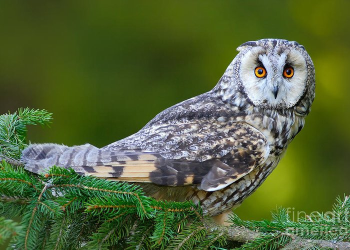 Big Greeting Card featuring the photograph Long-eared Owl Sitting On The Branch In by Ondrej Prosicky