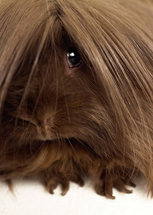 Pets Greeting Card featuring the photograph Long Haired Guinea Pig, Close-up by Michael Blann