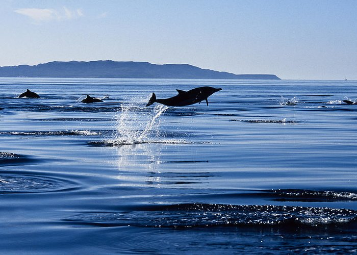 Latin America Greeting Card featuring the photograph Long-nosed Common Dolphin,delphinus by Gerard Soury