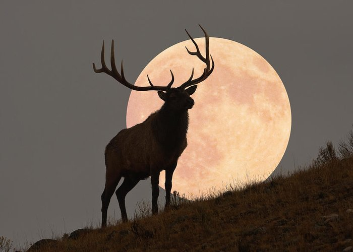 Horned Greeting Card featuring the photograph Majestic Bull Elk And Full Moon Rise by Mark Miller Photos