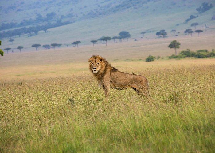 Kenya Greeting Card featuring the photograph Male Lion In The Savanna Masai Mara by Seppfriedhuber
