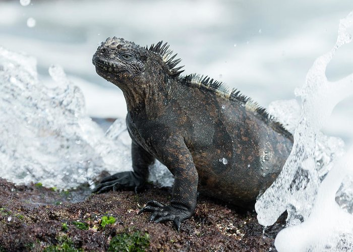 Animals Greeting Card featuring the photograph Marine Iguana In Surf Zone by Tui De Roy