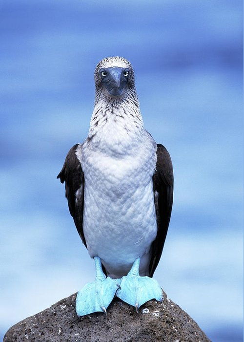 Animal Themes Greeting Card featuring the photograph Masked Booby Sula Dactylatra Galapagos by Art Wolfe