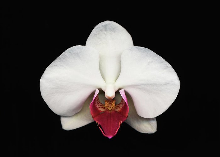 Black Background Greeting Card featuring the photograph Moth Orchid Against Black Background by Mike Hill