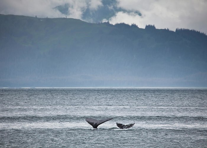 Water's Edge Greeting Card featuring the photograph Mother And Calf Whale Tails Megaptera by Blake Kent / Design Pics