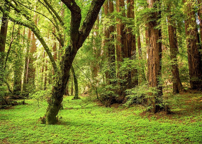 Tranquility Greeting Card featuring the photograph Muir Woods Forest by By Ryan Fernandez