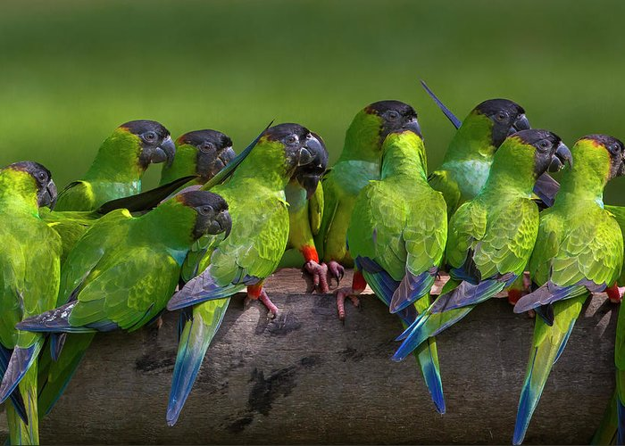 Vertebrate Greeting Card featuring the photograph Nanday Parakeets Perched In A Row In by Mint Images - Art Wolfe