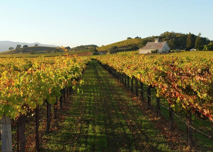 Scenics Greeting Card featuring the photograph Napa Valley Vineyard In Autumn by Leezsnow